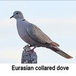 press-release-9_2_2014-Eurasian-Dove