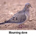 press-release-9_2_2014-Morning-Dove