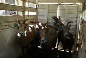 Bighorn sheep in the New Mexico Game and Fish transport trailer.