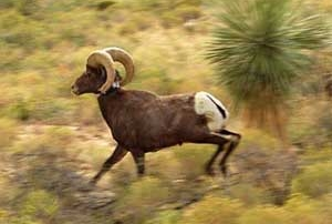 Desert bighorn ram released with New Mexico Game and Fish radio collar.