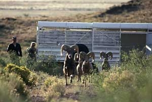 Desert bighorn rams after New Mexico Game and Fish release .