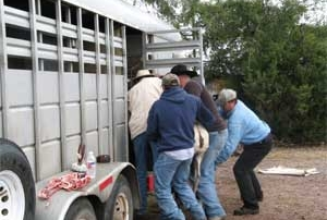 Loading desert bighorn into the New Mexico Game and Fish transport trailer.