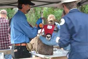 New Mexico Game and Fish processing a desert bighorn prior to transport.