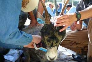 New Mexico Game and Fish  biologists place a radio collar on a bighorn ewe.