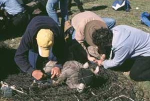 New Mexico Game and Fish  crew works to extract a bighorn lamb from the net.