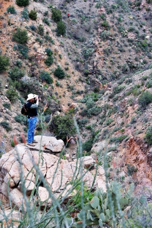 Biologist surveys for desert bighorn sheep - New Mexico Game & Fish mammal conservation