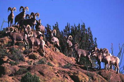 Group of desert bighorn rams - New Mexico Game & Fish conservation