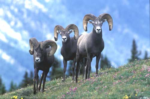Rocky Mountain Bighorn Sheep alpine rams under conservation management of mammals by New Mexico Game & Fish