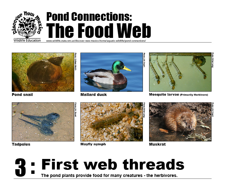 #3: First web threads - the pond plants provide food for many creatures - the herbivores.