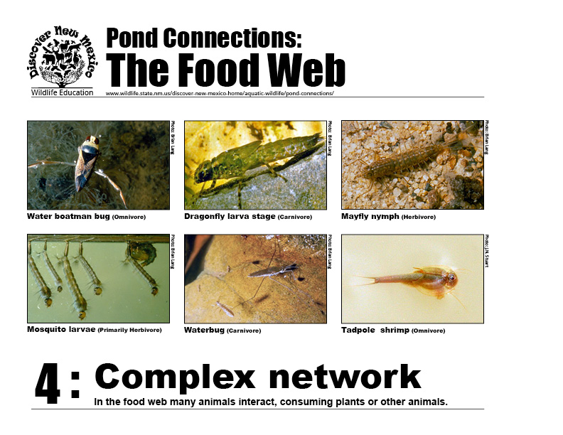 #4: Complex network - in the pond's food web many animals interact, consuming plants or other animals.