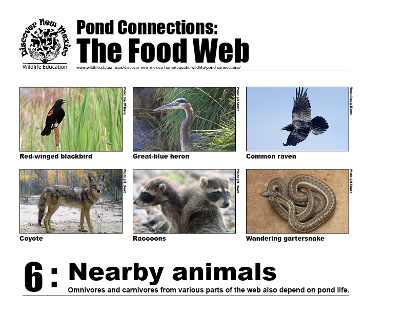 #6: Nearby animals - omnivores and carnivores from various parts of the food web also depend on pond life.