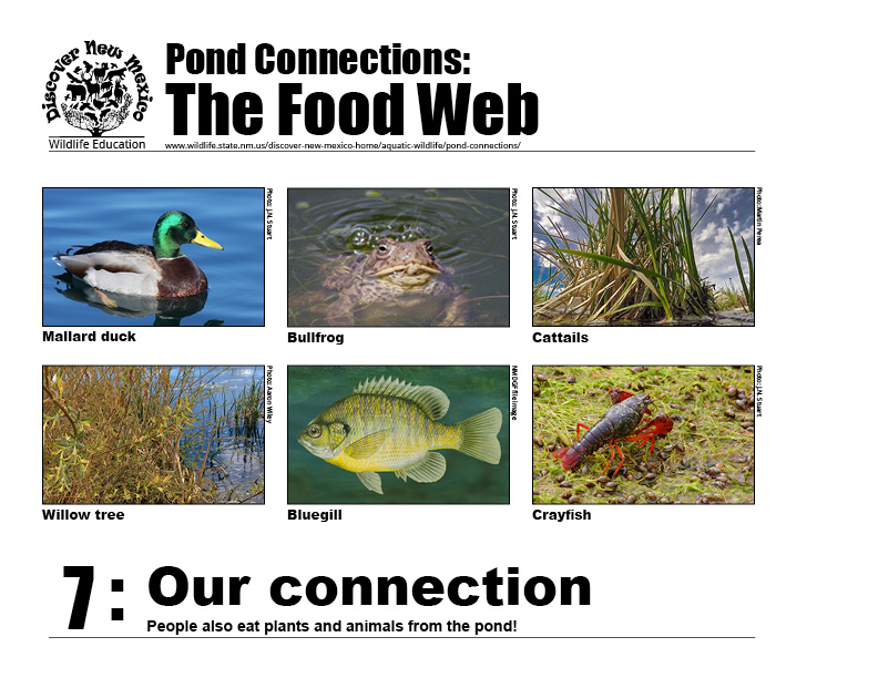 #7: Our connection - as part of the food web, people also use and eat plants from the pond!