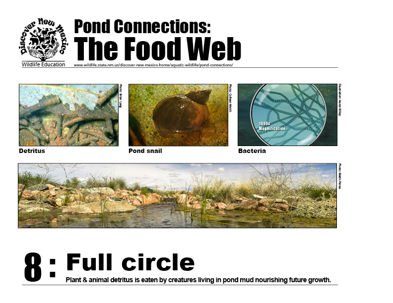 #8: Full circle - plant & animal detritus in the food web are eaten by creatures living in pond mud nourishing future growth.