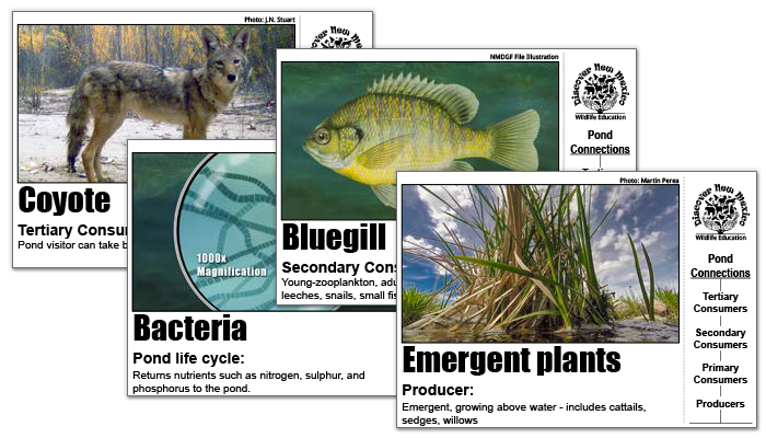 Wildlife Conservation Educational Materials - Download Printable Pond Life Cards - New Mexico Game and Fish