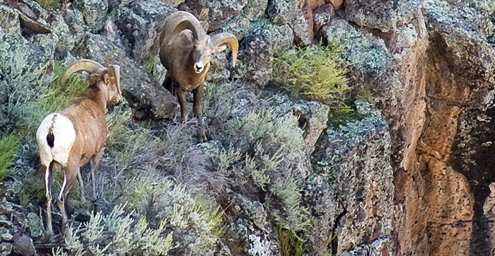 Rams, Rocky Mountain Bighorn Sheep- Discover New Mexico - Wildlife Conservation Curriculum