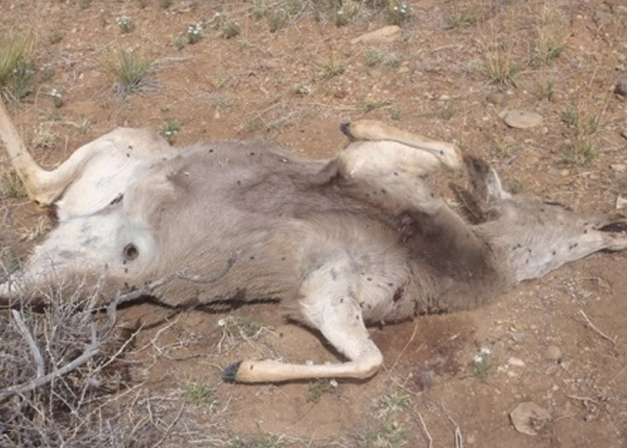 Three deer shot and left to rot near ute lake new mexico for Ute lake fishing report