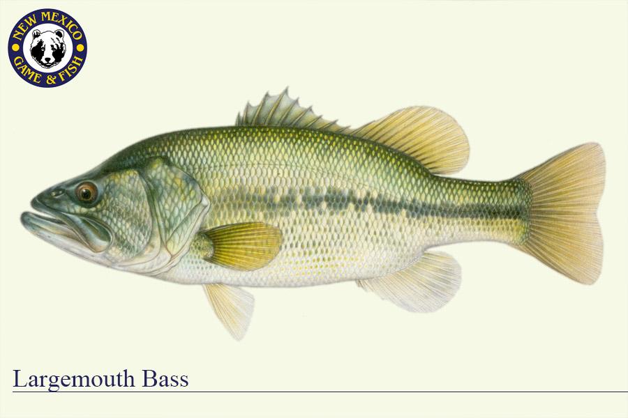 Largemouth Bass - Fish Illustration - New Mexico Game & Fish