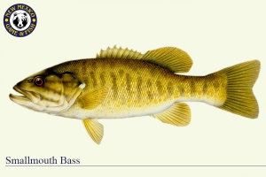Smallmouth Bass, Warm Water Fish Illustration - New Mexico Game & Fish