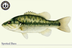 Spotted Bass, Warm Water Fish Illustration - New Mexico Game & Fish