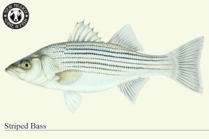 Striped Bass, Warm Water Fish Illustration - New Mexico Game & Fish
