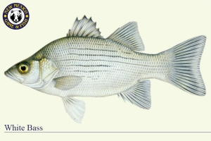 White Bass, Warm Water Fish Illustration - New Mexico Game & Fish