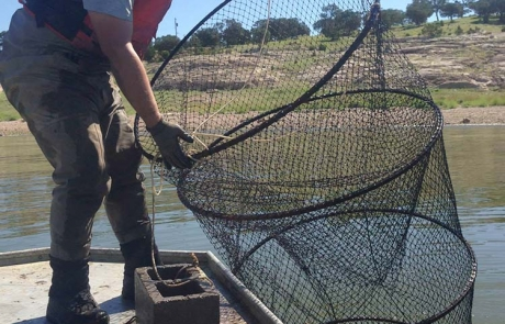 New Mexico Game and Fish  biologist setting baited hoop nets to recapture marked channel catfish.