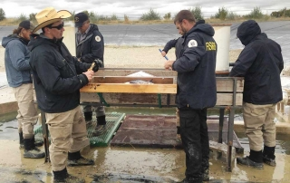 New Mexico Game and Fish - Fisheries Management Division crew fin clipping and freeze branding catfish.