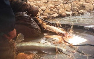 Walleye captured in gill net to collect eggs at Conchas Lake - (New Mexico Game and Fish).