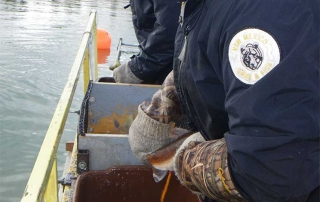 New Mexico Game and Fish  department staff gently squeezing eggs from a female kokanee salmon.