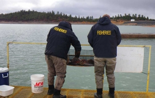 New Mexico Game and Fish  department staff spawning kokanee salmon on the trap at Heron Reservoir.