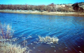Fish kill caused by golden algae bloom along the lower Pecos River near Carlsbad, NM - (New Mexico Game and Fish).