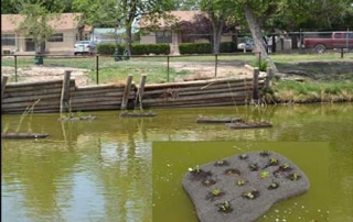 Floating island planted with aquatic plants to filter water and reduce nutrients to control golden algae.