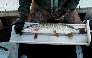 New Mexico Game and Fish biologist measuring a tiger muskie during a population survey.