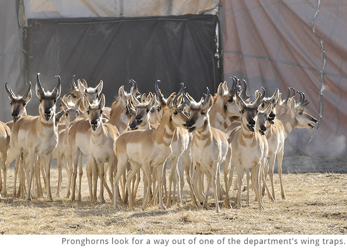 Pronghorns look for a way out of one of the department's wing traps.
