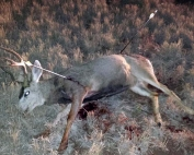 Game and Fish seek information for mule deer buck shot with three arrows and left to die Jan. 8, 2015 near Conchas Lake.