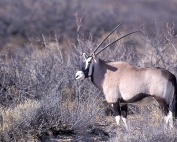 Oryx in New Mexico, United States