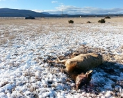 Information sought on two cow elk illegally killed on Wallace Ranch north of Las Vegas.
