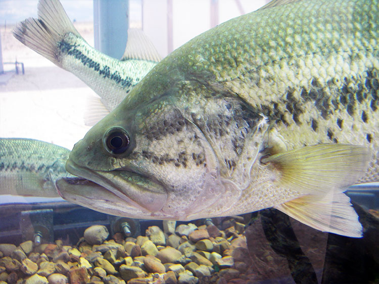 Northern largemouth bass on display at NM Outdoor EXPO