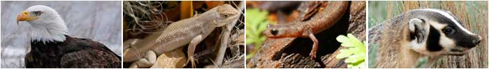 New Mexico State Wildlife Action Plan SWAP banner (left to right: Bald eagle, Dune sagebrush lizard, Jemez Mountain Salamander, Badger - photos by Mark Watson)