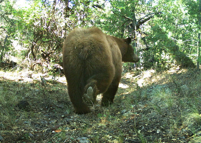 Black bear caught via camera trap along the Gila River. (Dr. Keith Geluso)