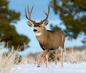 Public help sought to protect big bucks during breeding season - New Mexico Game and Fish, Enforcement News