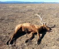news-04_13_2016-las-vegas-wildlife-refuge-dead-elk