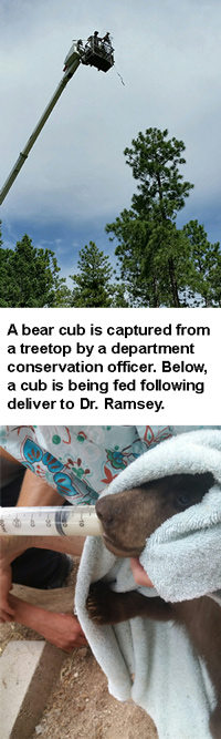 Above, a bear cub is captured from a treetop by NMDGF Conservation Officer. Below, a cub is being fed following deliver to Dr. Ramsey/
