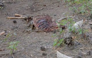 Enforcement OGT Operation Game Thief - Department seeking information on a mule deer killed out of season Rio Arriba County.