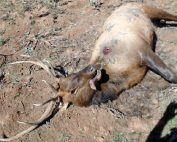 Department of Game and Fish, Operation Game Theif, seeking information on elk poached near Tres Piedras.