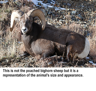 NMDGF News - Dec. 28, 2016: Tips sought in bighorn poaching case off N.M. 518 near Sipapu ski area.