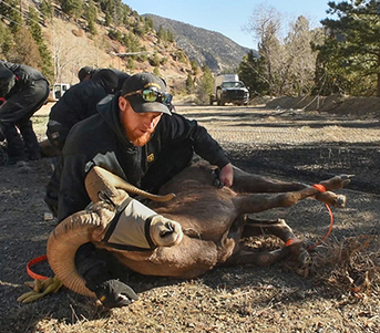 Bighorn sheep captured and relocated to Cochiti Canyon bighorn sheep captured, New Mexico Department of Game and Fish