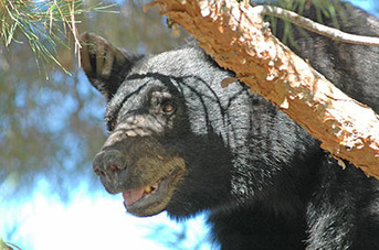 Be bear aware during hot July 4 holidays - New Mexico Department of Game and Fish