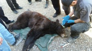 Officers catch wandering bear in Rio Rancho today, New Mexico Department of Game and Fish news April 26, 2018