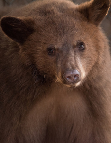 epartment cautions campers to be aware of increased bear activity in the Jemez Mountains, 05-25-2018., New Mexico Department of Game and Fish